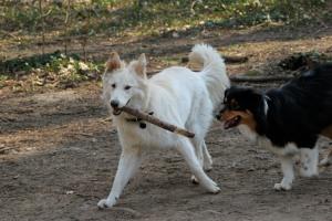 Naya dans le parc canin (10mois) qui nargue Joe avec un bâton.